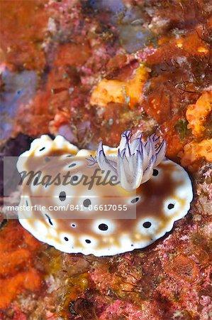 Nudibranch (Risbecia tryoni), Southern Thailand, Andaman Sea, Indian Ocean, Asia