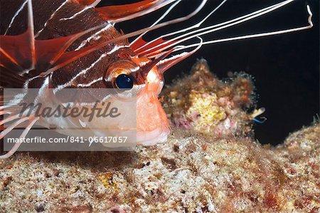 Scorpionfish (white-lined lionfish), (Pterois radiata), Southern Thailand, Andaman Sea, Indian Ocean, Asia