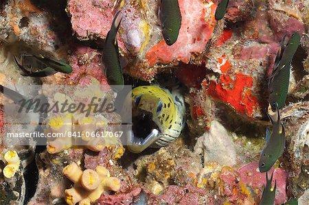 Spot-face moray (Gymnothorax fimbriatus), Southern Thailand, Andaman Sea, Indian Ocean, Asia