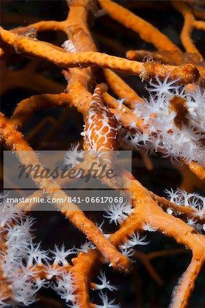 Allied cowry (Phenacovolva gracilis), Southern Thailand, Andaman Sea, Indian Ocean, Asia