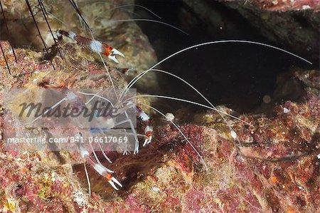 Banded boxer shrimp (Stenopus tenuirostris), Southern Thailand, Andaman Sea, Indian Ocean, Asia