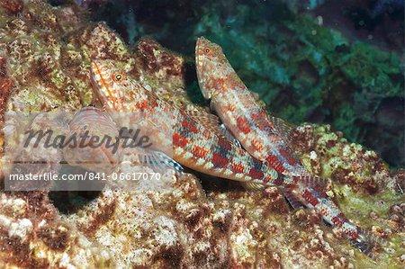 Variegated lizardfish (Synodus variegatus), Southern Thailand, Andaman Sea, Indian Ocean, Southeast Asia, Asia