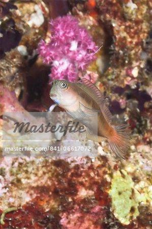 Midas blenny (Ecsenius), Southern Thailand, Andaman Sea, Indian Ocean, Southeast Asia, Asia