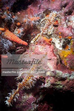 Harlequin ghost pipefish (Solenostomus paradoxus), Southern Thailand, Andaman Sea, Indian Ocean, Southeast Asia, Asia