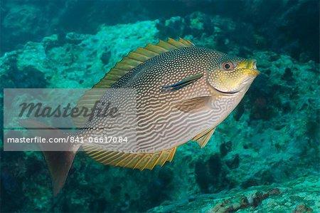 Maze rabbitfish (Siganus vermiculatus), Southern Thailand, Andaman Sea, Indian Ocean, Southeast Asia, Asia