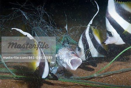 Moorish idol (Zanclus Ccornutus) caught in fishing net, Southern Thailand, Andaman Sea, Indian Ocean, Southeast Asia, Asia