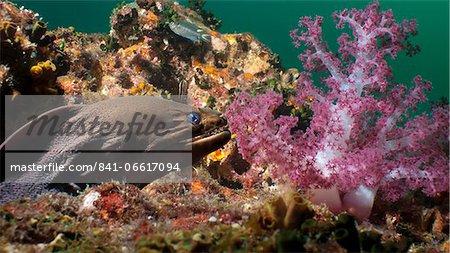 Giant moray eel (Gymnothorax javanicus), Southern Thailand, Andaman Sea, Indian Ocean, Southeast Asia, Asia