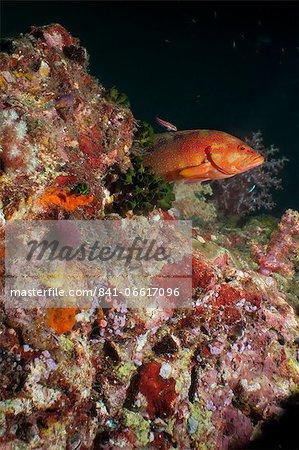 Coral hind (cephalopholis), Southern Thailand, Andaman Sea, Indian Ocean, Southeast Asia, Asia