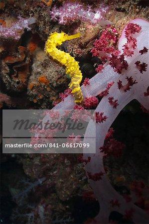 Thorny seahorse (Hippocampus hystrix), Southern Thailand, Andaman Sea, Indian Ocean, Southeast Asia, Asia