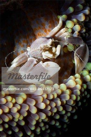 Porcelain crab (Neopetrolisthes oshimai), Southern Thailand, Andaman Sea, Indian Ocean, Southeast Asia, Asia