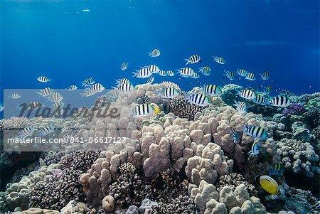 School of sergeant major fish (Abudefduf vaigiensis) over pristine coral reef, Jackson Reef, off Sharm el Sheikh, Sinai, Egypt, Red Sea, Egypt, North Africa, Africa