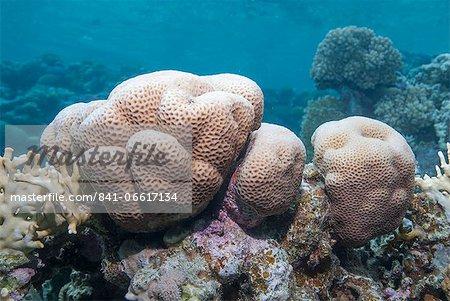 Close-up of brain coral (Platygyra Daedalea), Ras Mohammed National Park, off Sharm el Sheikh, Sinai, Egypt, Red Sea, Egypt, North Africa, Africa