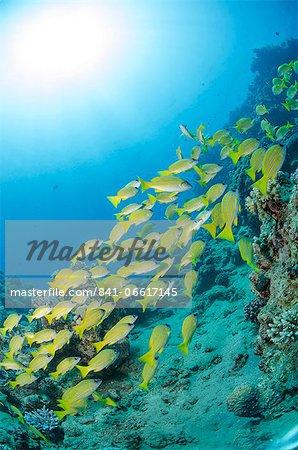 Medium shoal or school of blue striped snapper (Lutjanus kasmira) close to coral reef, Naama Bay, off Sharm el Sheikh, Sinai, Egypt, Red Sea, Egypt, North Africa, Africa