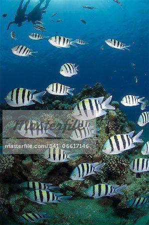 Shoal or school of sergeant major fish, (Abudefduf vaigiensis), Naama Bay, off Sharm el Sheikh, Sinai, Egypt, Red Sea, Egypt, North Africa, Africa