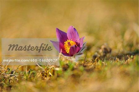 Bloom of a Pulsatilla (Pulsatilla vulgaris) in the grassland in early spring of Upper Palatinate, Bavaria, Germany