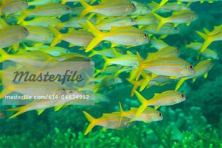 School of goatfish swimming underwater