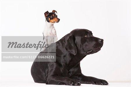 Little dog sitting on big dog