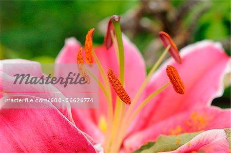 Close-up of a Lilium (Lilium longiflorum) flower in a garden in spring, Bavaria, Germany.