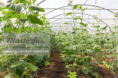 Pumpkin vines grow plants growing in a greenhouse