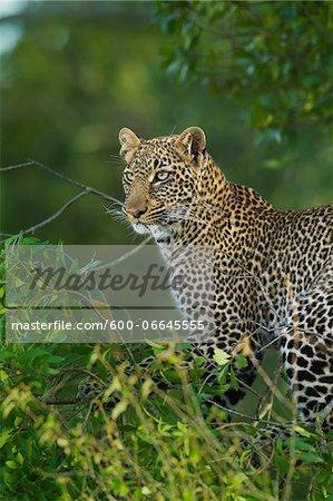 Portrait of Leopard (Panthera pardus) in Tree, Maasai Mara National Reserve, Kenya