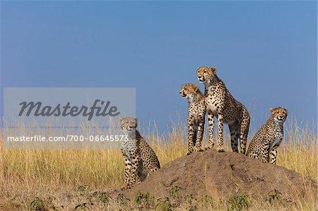 Cheetah (Acinonyx jubatus) mother with three half grown cubs searching for prey from atop termite mound, Maasai Mara National Reserve, Kenya, Africa.