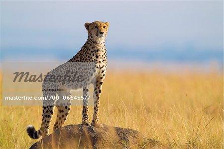Cheetah (Acinonyx jubatus) adult searching for prey from atop termite mound, Maasai Mara National Reserve, Kenya, Africa.