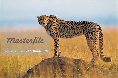 Side View of cheetah (Acinonyx jubatus) adult searching for prey from atop termite mound, Maasai Mara National Reserve, Kenya, Africa.