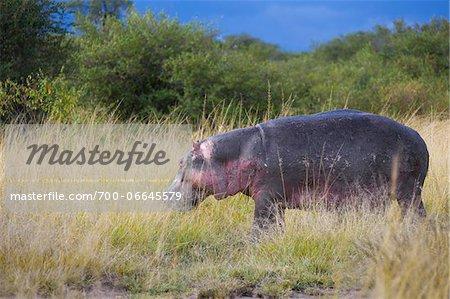Hippopotamus (Hippopotamus amphibus) out of the water feeding on grass, Maasai Mara National Reserve, Kenya, Africa.