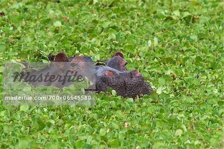 Close-up of a hippopotamus (Hippopotamus amphibus) swimming in swamp lettuce, Maasai Mara National Reserve, Kenya, Africa.
