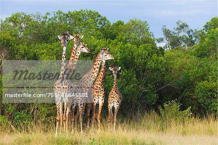 Herd of Masai giraffes (Giraffa camelopardalis tippelskirchi) standing near trees, Maasai Mara National Reserve, Kenya, Africa.