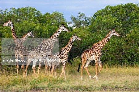 Herd of Masai giraffes (Giraffa camelopardalis tippelskirchi) walking near trees, Maasai Mara National Reserve, Kenya, Africa.