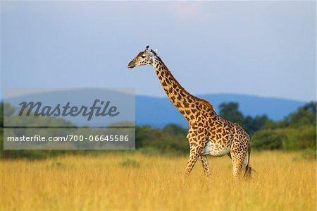Masai giraffe (Giraffa camelopardalis tippelskirchi), female adult walking in savanna, Maasai Mara National Reserve, Kenya, Africa.