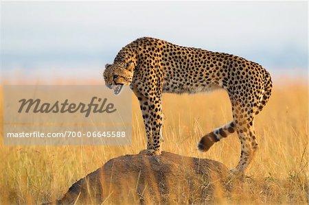 Snarling cheetah (Acynonix jubatus) adult standing on termite mound and showing teeth, Maasai Mara National Reserve, Kenya, Africa.