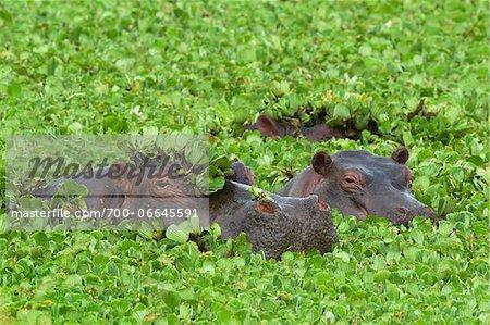 Close-up of three hippopotamus (Hippopotamus amphibus) swimming in swamp lettuce, Maasai Mara National Reserve, Kenya, Africa.
