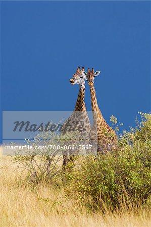 Two Masai giraffes (Giraffa camelopardalis tippelskirchi) standing in savanna, Maasai Mara National Reserve, Kenya, Africa.