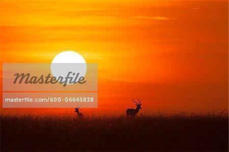 Two Impala (Aepyceros melampus) silhouetted at sunrise, Maasai Mara National Reserve, Kenya, Africa.