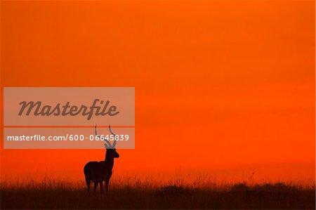 Impala (Aepyceros melampus) silhouette at sunrise, Maasai Mara National Reserve, Kenya, Africa.