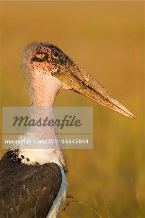 Marabou stork (Leptoptilos crumeniferus), close-up of the head, Maasai Mara National Reserve, Kenya, Africa.
