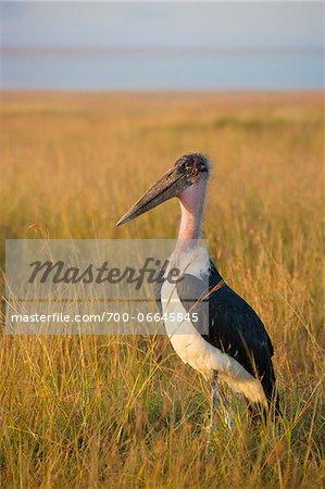 Marabou stork (Leptoptilos crumeniferus) in the savanna, Maasai Mara National Reserve, Kenya, Africa.