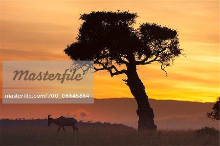 View of topi (Damaliscus lunatus) and tree silhouetted against beautiful sunrise sky, Maasai Mara National Reserve, Kenya, Africa.