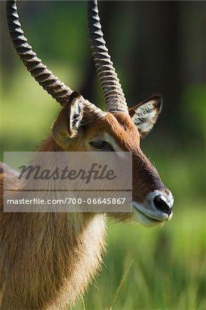 Defassa waterbuck (Kobus defassa), Maasai Mara National Reserve, Kenya, Africa.