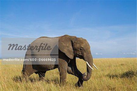 African Bush Elephant (Loxodonta africana) in Savanna, Maasai Mara National Reserve, Kenya, Africa