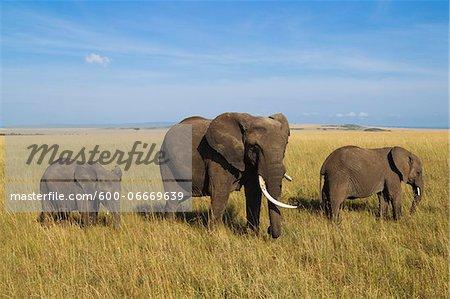 African Bush Elephant (Loxodonta africana) Mother with Calves, Maasai Mara National Reserve, Kenya, Africa