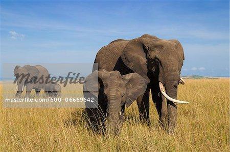 African Bush Elephant (Loxodonta africana) Mothers with Calves, Maasai Mara National Reserve, Kenya, Africa