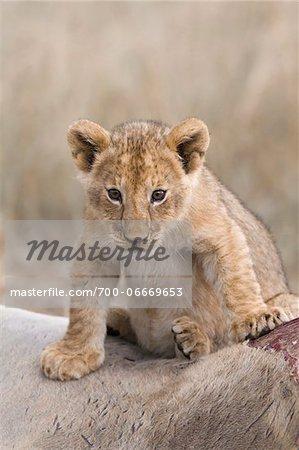 Lion cub (Panthera leo) sitting on an eland kill, Maasai Mara National Reserve, Kenya, Africa.