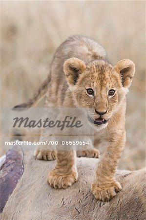 Lion cub (Panthera leo) standing on an eland kill, Maasai Mara National Reserve, Kenya, Africa.