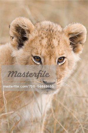 Close-up of african Lion cub (Panthera leo), Maasai Mara National Reserve, Kenya, Africa.