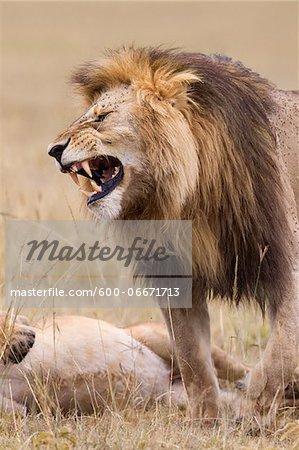 African lion (Panthera leo), Maasai Mara National Reserve, Kenya