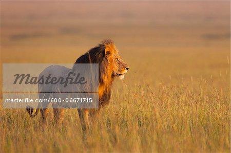 Big male lion (Panthera leo) in early morning light, Maasai Mara National Reserve, Kenya
