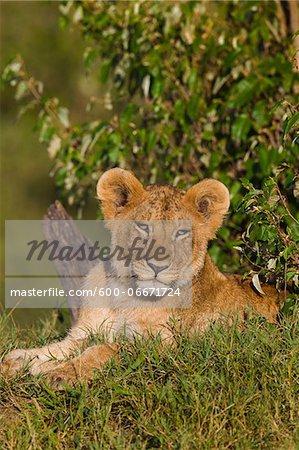 Young lion (Panthera leo), Maasai Mara National Reserve, Kenya